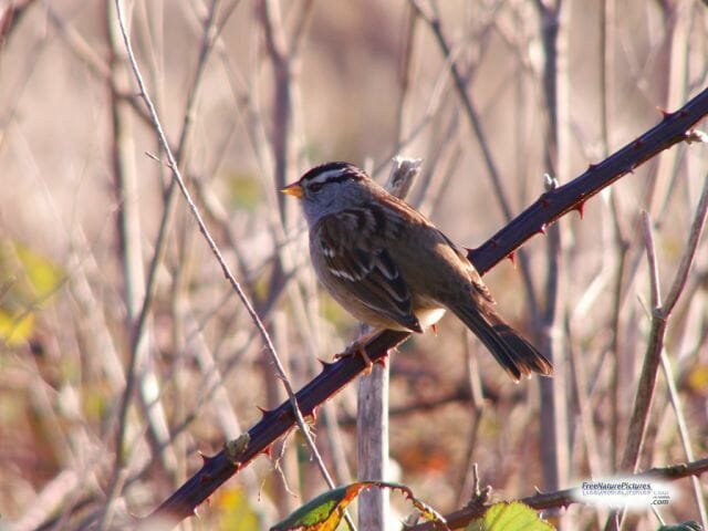white crowned sparrow on thorn branch