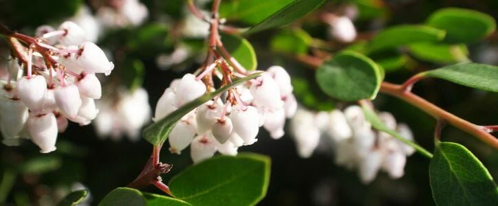 The dainty bell-shaped blooms of the California Manzanita are some of the first to ring in the new year!