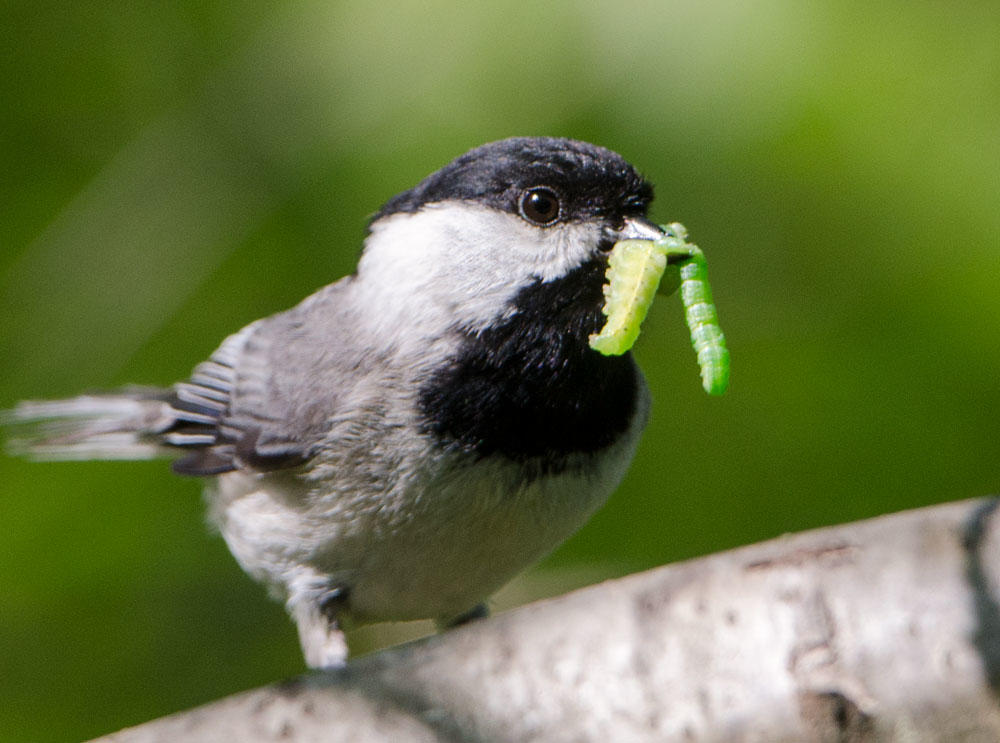 Chickadee with caterpillar