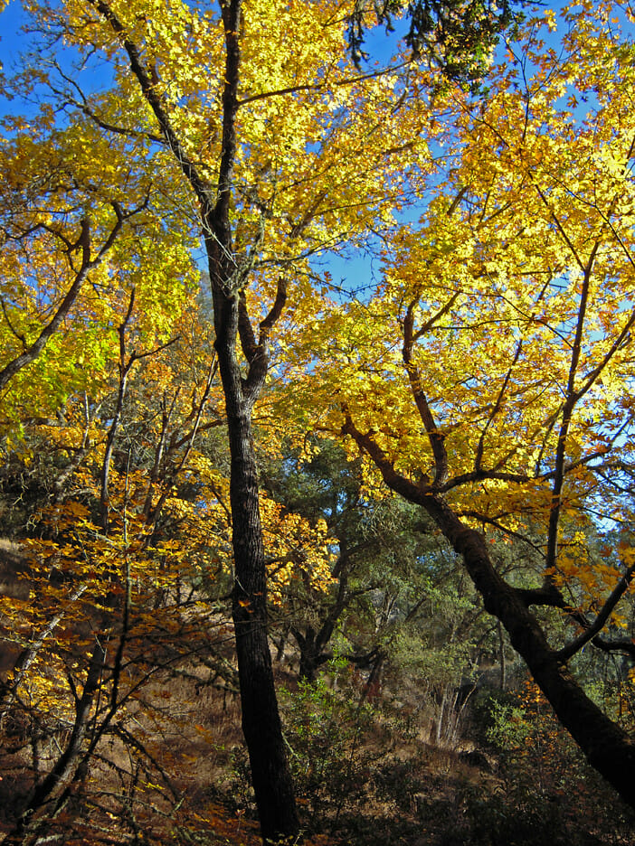 Fall Trees on Mt Diablo