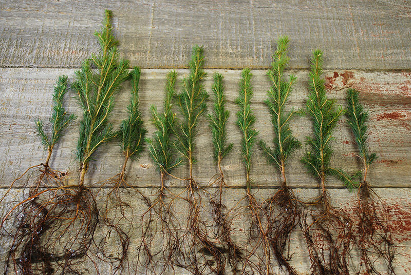 bare root seedlings