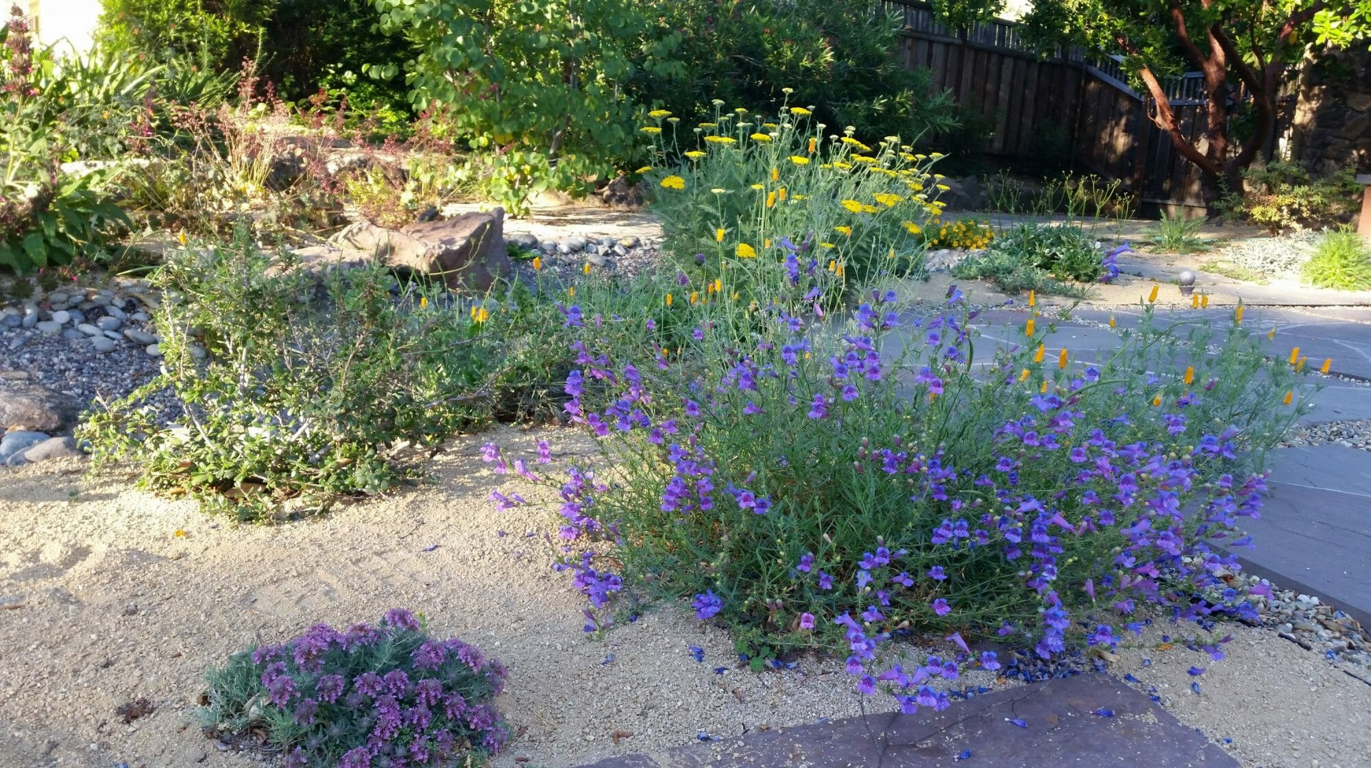 Susan's front yard with penstemon